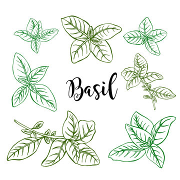 Hand drawn colored  basil in vector