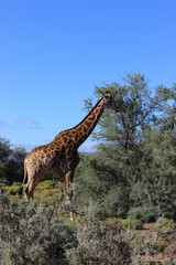 Giraffe in a Safari in South Africa