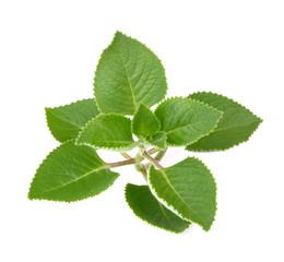 Green Leaves (Country Borage,Indian Borage,Coleus amboinicus Lou