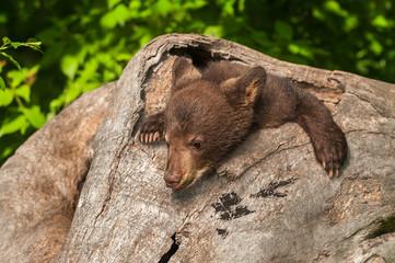 Black Bear Cub (Ursus americanus) in Log