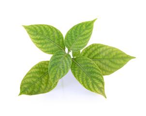 fresh oregano leaves isolate on white background