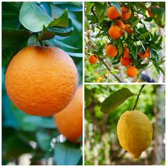 Collage Agrumi - Arance e Limoni