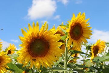 Sonnenblume, Bienen