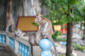 Monkeys portrait in temple of Thailand.