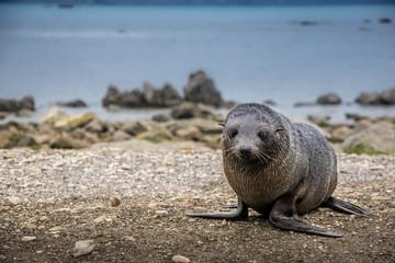 Cute New Zealand fur seal pup