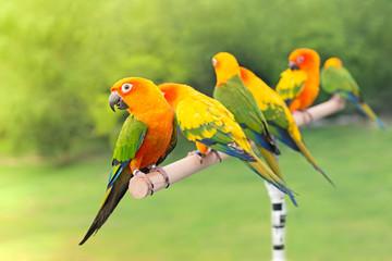 green parrot lovebird