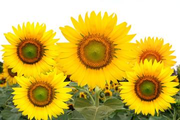 sunflower with black ground