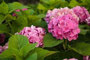Pink blossom hydrangeas in the garden closeup
