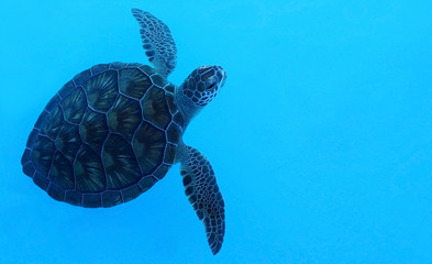 Underwater sea turtle swimming in blue water (tartaruga d'acqua nuota in acqua blu)