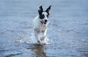 Fotoväggar - Puppy of watchdog running on water.