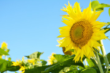 Close up on Isolated Sunflower with Copy Space. Helianthus or sunflower with sunflower field and blue sky background