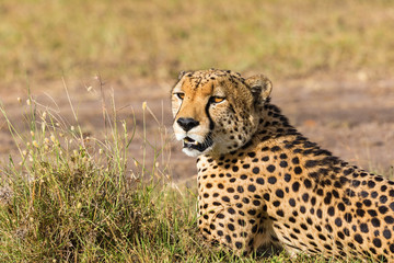 Cheetah lying on the savannah