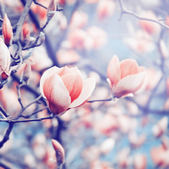 Magnolia blossoming in spring. Color toning effect applied.