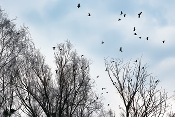 Ravens and crows among the bare trees