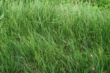 wild green grass outdoor in summer