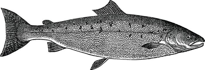 Vintage picture trout salmon fish