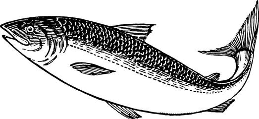 Vintage picture trout fish
