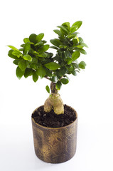 Bonsai tree on white background vertical