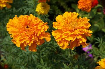 Two 'African Marigold' bears bold orange flowers