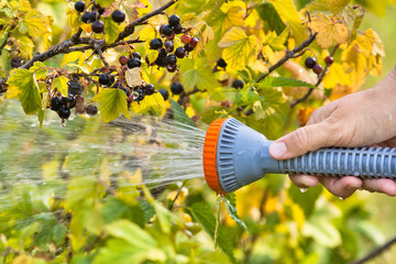 hand watering black currant