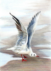 Sea gull standing on wet sand with raised wings. Color pencils illustration