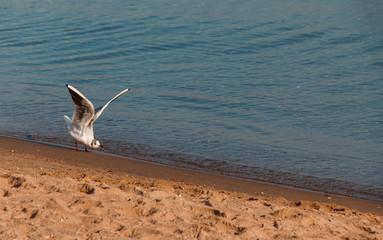 Seagull preparing to take off