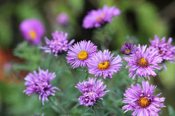 Purple asters in the flowerbed