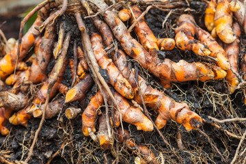 dig turmeric under the soil