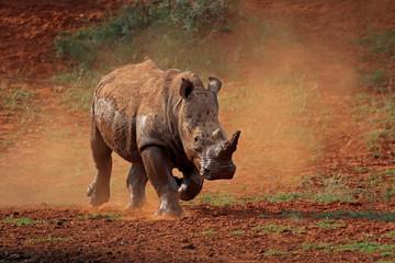 A white rhinoceros (Ceratotherium simum) running in dust, South Africa.