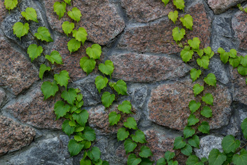 Green ivy climbs on brick wall-  background