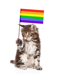 maine coon cat holding rainbow color flag symbolizing gay rights.  isolated on white