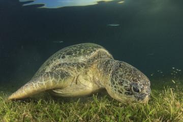 Green Sea Turtle eats grass