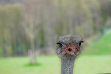 head of a beautiful ostrich