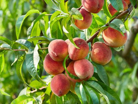 Branch of peach tree