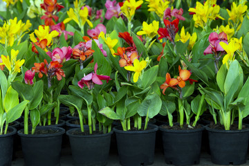 flowers in pots , azalea colorful flowers pots, flowers shop. Indian shot, India Short Plant, India Shoot, Butsarana, Cannas, Canna Lily