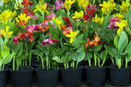 flowers in pots , azalea colorful flowers pots, flowers shop. Indian shot, India Short Plant, India Shoot, Butsarana, Cannas, Canna Lily