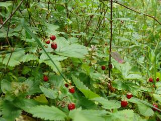 Ripe berries of wild strawberry