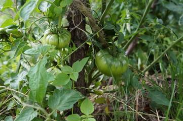 dojrzewające pomidory
