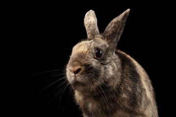 Closeup Head Funny Little rabbit, Brown Fur, isolated on Black Background, Front view