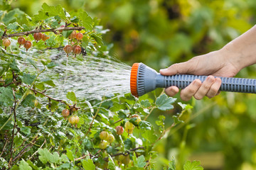 hand watering gooseberry bush