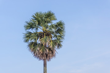 Sugar palm tree with green leaves and blue sky