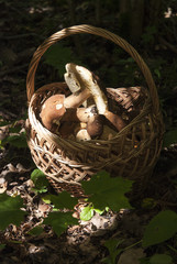 Basket with mushrooms. Boletus in the forest