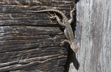 A small sagebrush lizard (Sceloporus graciosus) clings to wood on the side of a foot bridge in Lassen Volcanic National Park, California