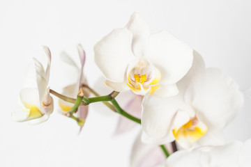 Phalaenopsis orchid branch white on a white background