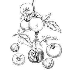 Vector sketch of tomatoes for design