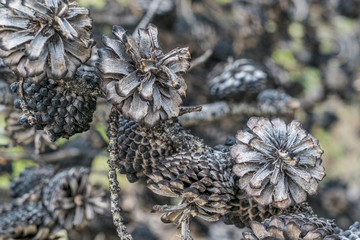 pine tree cones after wildfire