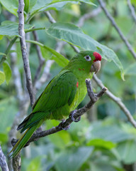 Photo of a Finsch's parakeet (Psittacara finschi), also known as Crimson-fronted parakeet or Finsch's conure. They are small Neotropical parrots.