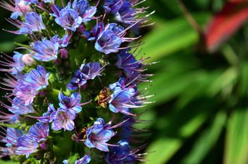 Closeup of purple lupin flower