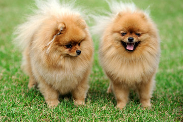 Brown pomeranian dog