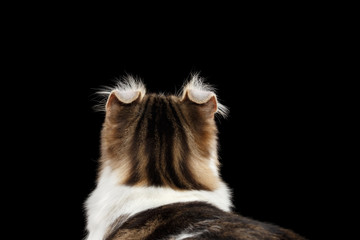Closeup Portrait of American Curl Cat Breed with twisted Ears, on Black Isolated background, Back view